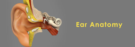 Ear Anatomy. Human ear, organ of hearing and equilibrium that detects and analyzes noises by transduction (or the conversion of sound waves into electrochemical Stock Image