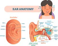 Ear anatomy medical vector illustration with outer, middle and inner ear cross section diagrams. Educational poster royalty free illustration