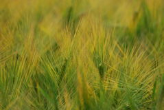 Ear of barley Royalty Free Stock Photos