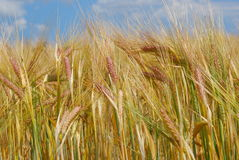 Ear of barley Royalty Free Stock Photo
