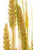 Ear of barley Stock Photo