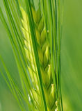 Ear of barley. Closeup on ear of barley on green background stock image