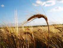 Ear of barley. On cornfield background Stock Images
