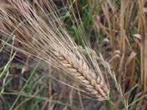 Ear of barley close-up Stock Photo