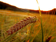 Ear of barley. On the field royalty free stock image