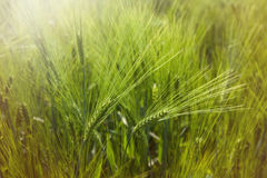 Ear of barley in mai Stock Photo