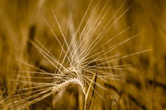 Ear of Barley. Two Ears of Barley in detail with blurred background Stock Image