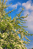 Ear blossom in early spring, beautiful tree covered with white flowers under a cloudy sky Royalty Free Stock Image
