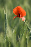 Ear of cereals and one red poppy close-up Royalty Free Stock Image