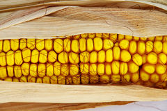 Ear of corn. An ear of corn, with the husks still on Royalty Free Stock Image