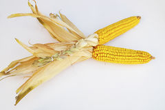 Ear of corn. An ear of corn, with the husks still on Stock Image