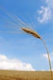 Ear corn. Under blue sky Royalty Free Stock Image