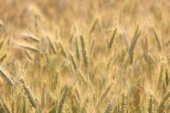 Ear corn Stock Photos