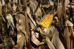 Ear of Corn. A ear of corn still on the stalk at harvest Stock Photography