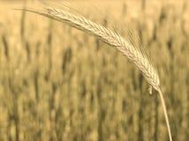 Ear of corn. Stock Image