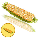 Ear of Corn. An image of a ear of corn Stock Photography