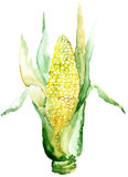 An ear of corn. Watercolor illustration Royalty Free Stock Images