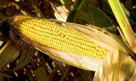 Ear of Corn. Drying ear pf yellow corn on brown stalk Stock Photos