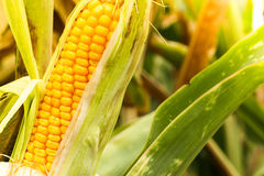Ear of corn Stock Images