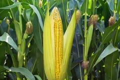Ear of corn Royalty Free Stock Image