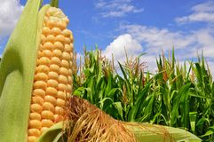 Ear of corn against a field under clouds Royalty Free Stock Photo