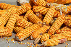 Ear of corn Stock Image