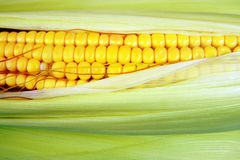 Ear of corn, closeup with space for copy. Corn is an agricultural product, can used for various eatables. like popcorn and many more testy food items royalty free stock image