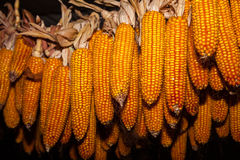 Ear of Corn Stock Photo