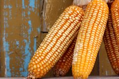 An ear of corn. The food ingredients and raw material Stock Image