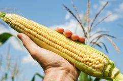 Ear of corn in hand Stock Photography