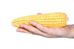 Ear of corn on hand isolated. On white background Royalty Free Stock Photo