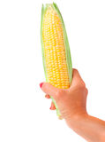 Ear of corn in hand isolated on white background.  Royalty Free Stock Images
