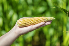 An ear of corn in hand Stock Photo