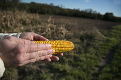 Ear of corn in the hands Stock Image