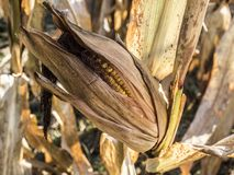 An ear of corn with its leaves. The fields of culture in corn are to feed the animals. These ears are picked in autumn when the leaves are yellow and dry. Photo royalty free stock photo