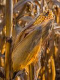 Autumn Corn Cob on Stalk Stock Image