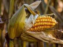 Autumn Corn Cob on Stalk Stock Images