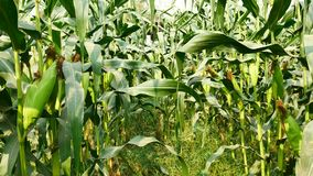 Ear of corn ready for harvest ,corn field,corn farm. Agricultural concept,Agricultural industry   concept. stock video
