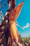 Ear of corn ready for harvest royalty free stock image