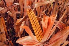 Ear of corn ready for harvest stock photos