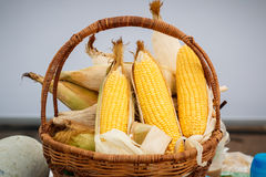 Ear of corn, revealing yellow kernels, photo of maize in a wicker basket Stock Images