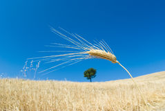 Wheat and solitary tree Stock Photography