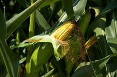 Ear Corn. A stalk with an ear of corn on it Stock Images