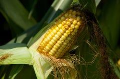 Ear Corn. A stalk with an ear of corn on it Stock Photo