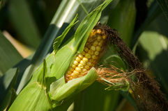 Ear Corn. A stalk with an ear of corn on it Stock Photography