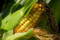 Ear Corn. A stalk with an ear of corn on it Royalty Free Stock Image
