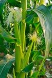 Ear of corn Stock Photos