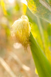 Ear of corn under the sunlight Royalty Free Stock Image