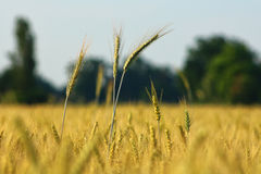 Ear of corn or wheat, summer. Ear of corn original photo, italy Royalty Free Stock Photography