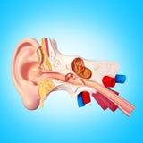Ear. 3D illustration of Human Ear snstomy Stock Photos